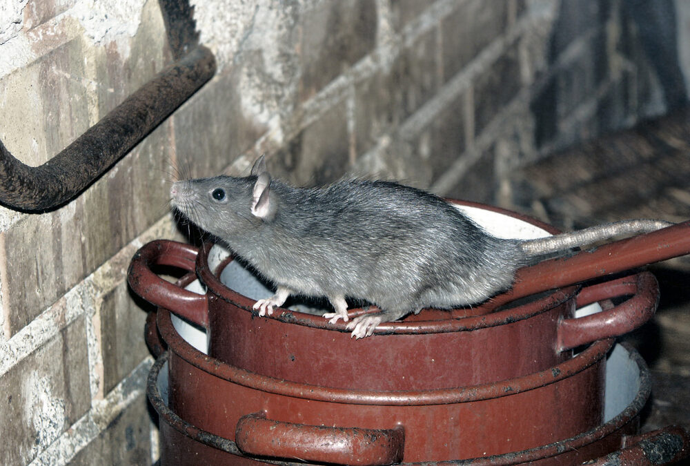 Domestic Rats on the increase during pandemic